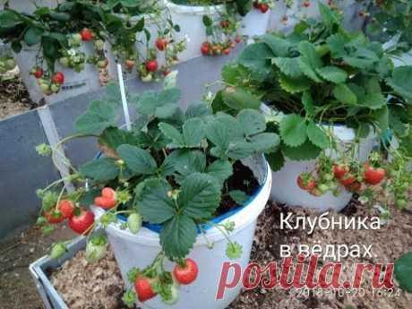 Суперспособ выращивания клубники