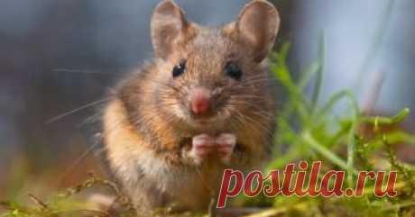 14 растений, которые помогут прогнать мышей с вашего огорода С чем только ни приходится бороться дачникам за качество урожая! Но какие бы меры ни предпринимались, находится тот, кто так и мечтает погрызть морковь или картошку в кладовке, испортить цветы на клумбе или еще как-то навредить. В общем, мыши не дремлют.