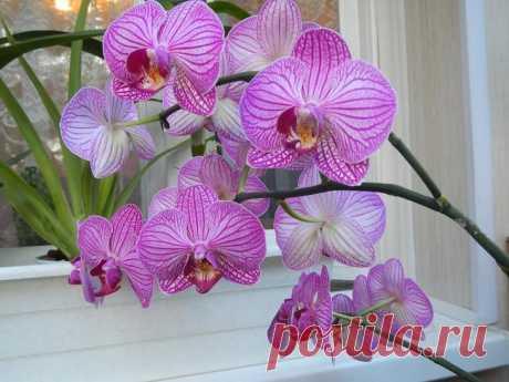 Орхидея фаленопсис: как ухаживать круглый год. Самый подробный план