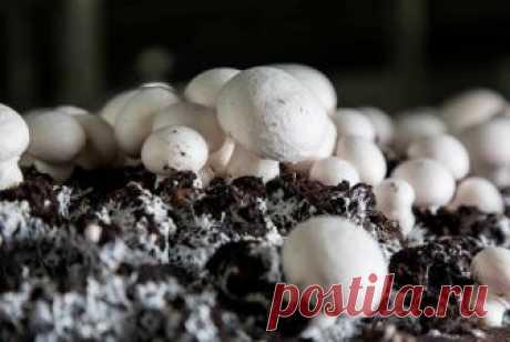 Вырастить мицелий шампиньонов самостоятельно – быть уверенным в его качестве Благодаря своему мягкому вкусу и безопасности шампиньоны – одни из самых популярных грибов, выращиваемых искусственным путем. Домашнее их разведение – дело и интересное, и прибыльное. Более трети всех...