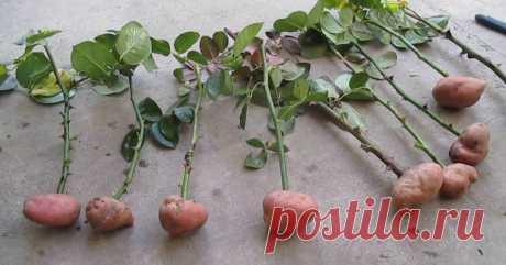 Как вырастить розу в картошке - Женские советы