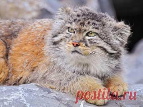 Как не промахнуться с выбором кошки: топ 5 самых опасных пород кошек