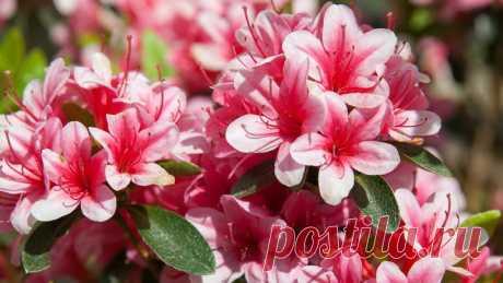 Азалия в домашних условиях Посадка азалии Как ухаживать за азалией Фото цветов
