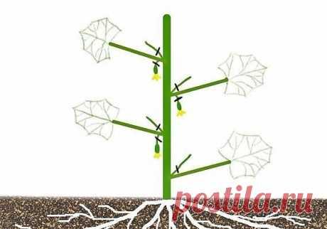 Формировка огурцов    1. На первом этапе на нижней части растения в пазухах 3-5 листьев производится «ослепление». Удаляются все завязи и побеги, которые образуются в пазухах этих листьев. Это нужно для того чтобы расте…