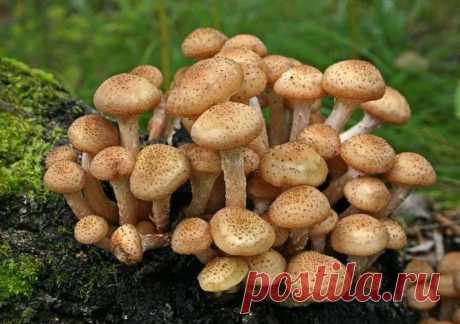 Как отличить осенние опята от ложных Наступила осень, а значит, пришла пора осенних опят. И отправляясь на тихую охоту в лес, нужно знать, как выглядят настоящие опята, а как ложные. Давайте попробуем в этом вместе разобраться. Опята Опята – небольшие грибы со шляпкой 3-10, а иногда и до 17 см...
