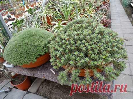 """Комнатное растение Аброметелла (Abromeitiella). Растение представляет собой листовой суккулент. Совсем небольшие розетки листьев амброметеллы напоминают своей формой листья агав. Сами листья мелкие, до 1 см длинной, и около 4 мм в ширину, очень плотные и жесткие. Растущие близко друг к другу куртинки амброметелл легко размножаются и поэтому в горшках часто образуют густые заросли-""""подушки"""". В комнатной культуре наиболее часто встречаются несколько видов."""