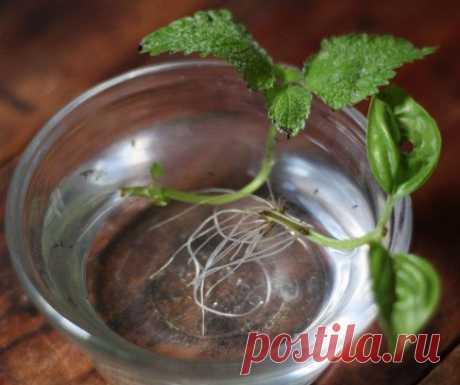 Эти травы вы можете вырастить в стакане с водой круглый год…