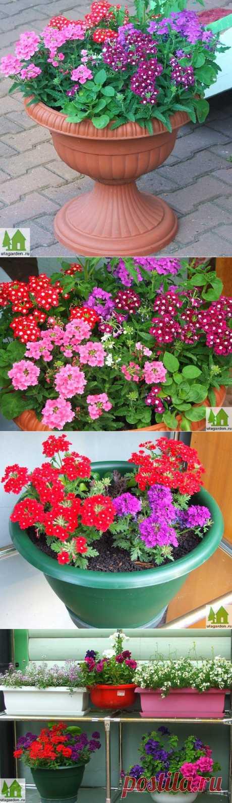 Вербена из семян | Дачная жизнь - сад, огород, дача.  Растение, которые вы видите на фото, называются вербена. Уже несколько лет мы регулярно выращиваем эти прекрасные цветы в вазонах и горшках на нашей даче. Вербена, в соседстве с цветами петунии, лобелии, ранункулюса и другими красивоцветущими однолетниками, радует нас все лето пышным цветением и создает хорошее настроение.