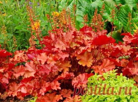Гейхера — посадка, уход и выращивание Цветок гейхера – посадка, уход, выращивание и сорта ГЕЙХЕРА — ПОСАДКА, ВЫРАЩИВАНИЕ, УХОД, РАЗМНОЖЕНИЕ Гейхера в моем саду. В чем секреты выращивание гейхеры и о чем говорят ее листья? Выращиваем гейхе