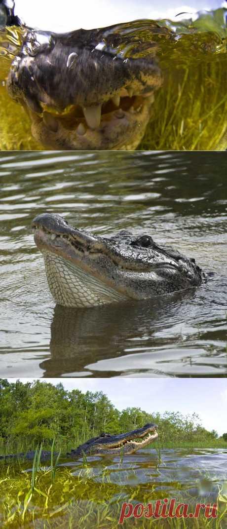 Американский аллигатор древний и опасный хищник : НОВОСТИ В ФОТОГРАФИЯХ