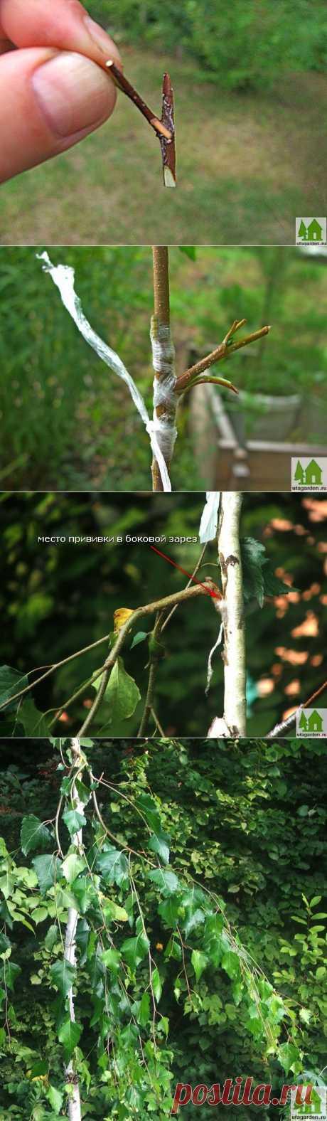 Как привить березу | Дачная жизнь - сад, огород, дача