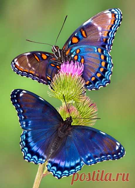 Red-spotted Purple Butterfly, Red-spotted Purple Butterfly photos, Red-spotted Purple Butterfly pictures