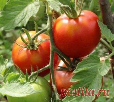 """Томат """"Леопольд"""": описание гибридного сорта, характеристики помидоров, рекомендации по уходу"""