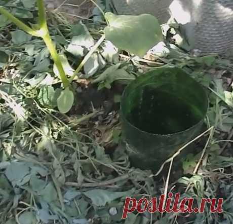 Сделала капельный полив под корень из пластиковой бутылки