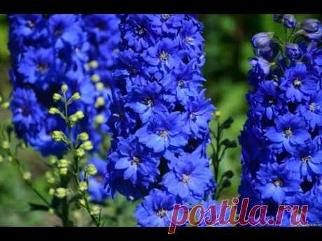 ДЕЛЬФИНИУМ БЕЗ СТРАТИФИКАЦИИ🌹КАК ВЫРАСТИТЬ ДЕЛЬФИНИУМ из семян многолетний