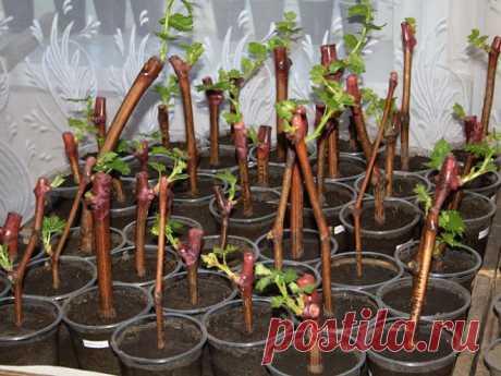 Эффективный способ размножения винограда черенками