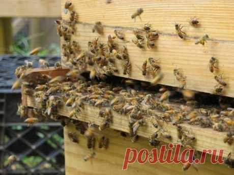 сообщение BARGUZIN : Ученые сказали, что пчелы самые важные существа на Земле (09:36 29-10-2019) [3509984/462266704] • ninanina345@ukr.net