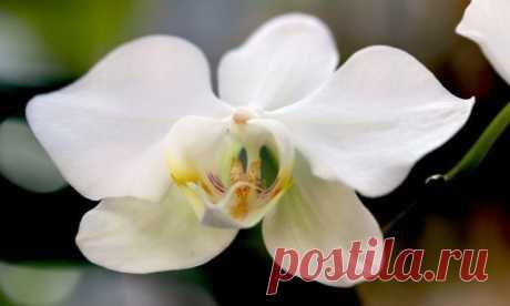 Фаленопсис — приручение «бабочки». Орхидея бабочка. Уход, выращивание. Фото - Ботаничка.ru