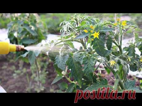 Когда томаты и огурцы массово цветут распыляю по цветкам эту воду ! Помидор каждый год пропасть!