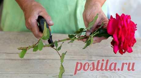 Как вырастить розу из букета. Мастер-класс