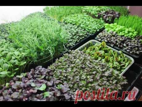 Микрозелень. Лучший способ выращивания дома.