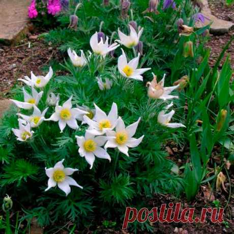 Многолетний садовый цветок Прострел (Pulsatilla). Семейство: лютиковые (Ranunculaceae) Синонимы: пульзатилла. Низкорослый травянистый корневищный многолетник. Листья пальчато- или перисторассеченные, образующие прикорневую розетку. Цветоносы одиночные, опушенные. Цветки колокольчатые, снаружи опушенные, разнообразной окраски, диаметром до 7 см. Цветет с апреля по июнь и иногда повторно в сентябре.  Основные виды П.альпийский (P.alpina) - высотой 15-20 см; цветки желтые.