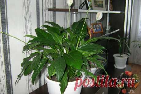 Спатифиллум – уход в домашних условиях, проблемы при выращивании, секрет цветения + фото
