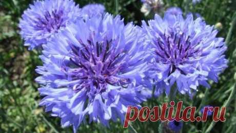 Что расскажет нам цветок кентавра? Василек синий в легендах, преданиях и традициях | Растения