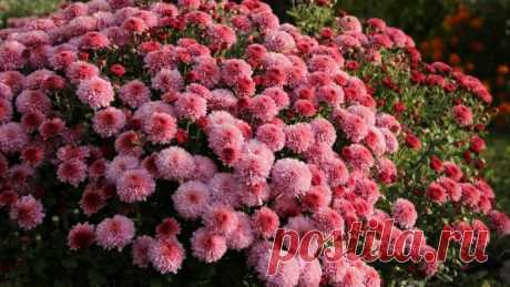 How to accelerate blossoming of chrysanthemums