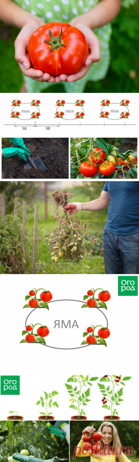 The confidential way of landing and watering of tomatoes – a harvest is guaranteed! | On a bed (Огород.ru)
