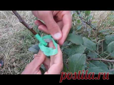 Okulirovka to beginners - it is simple and available about an inoculation of trees
