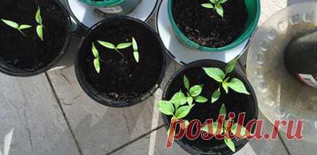 Чем подкормить рассаду: органика, народные средства, гумматы...