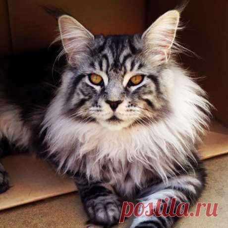 16 мейн-кунов, в сравнении с которыми ваш котик будет смотреться крошечным...