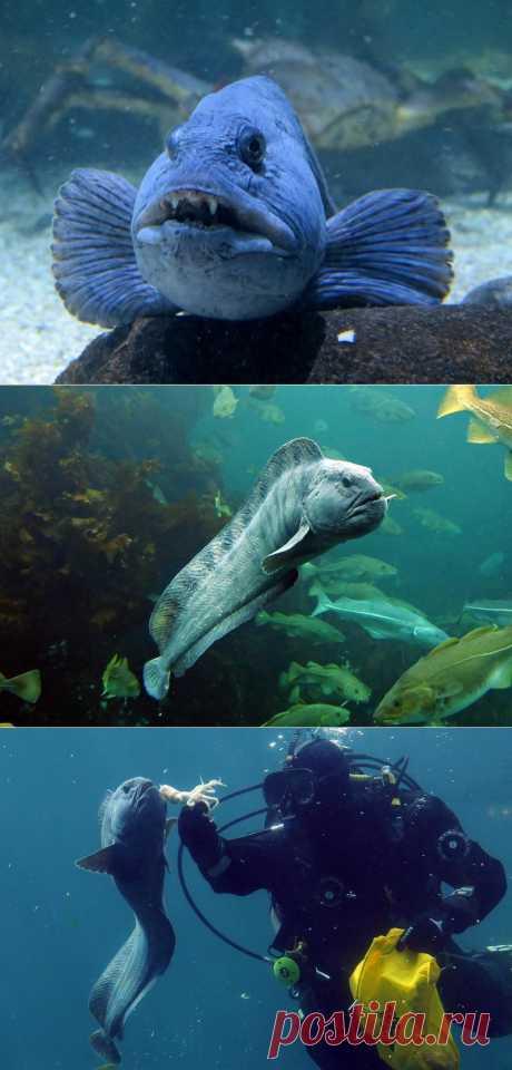 Рыба-волк | В мире интересного