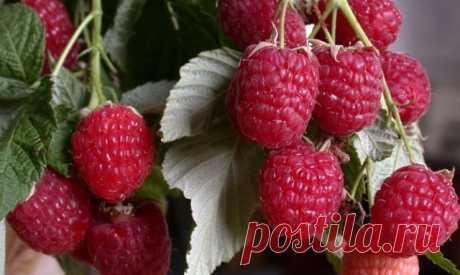 СЕМЬ ВАЖНЫХ ПРАВИЛ ПО УХОДУ ЗА МАЛИНОЙ.   1. Не сажайте малину в тени.  2. Не жадничайте. Кусты малины надо прореживать в июне, пока нет спелых ягод и зеленая поросль малины еще не очень велика. В каждом кусте оставляю по 2 молодых побега, самых урожайных.  3. В середине июля срежьте им макушки на 10-15 см.  4. Не скупитесь – ранней весной под каждый куст высыпайте по ведру перегноя. Он не дает земле пересыхать, да и подкормка просто необходима. Ведь за лето малина должна ...