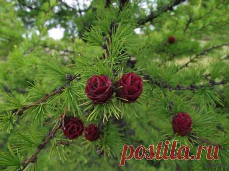 Полярная роза - Так цветет лиственница