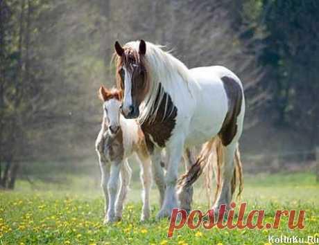 Кобыла и жеребёнок » Фото лошадей » Сайт о лошадях KoHuKu.ru