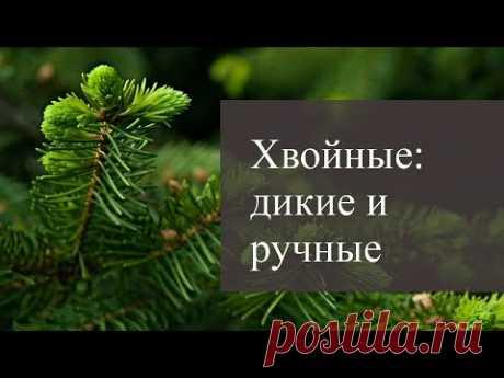 Хвойные: дикие и ручные. Ассортимент для садов Лениградской области.