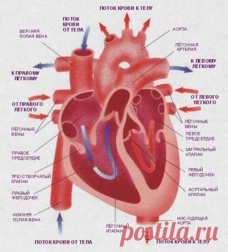 14 малоизвестных фактов о сердце и его работе — Наука и жизнь