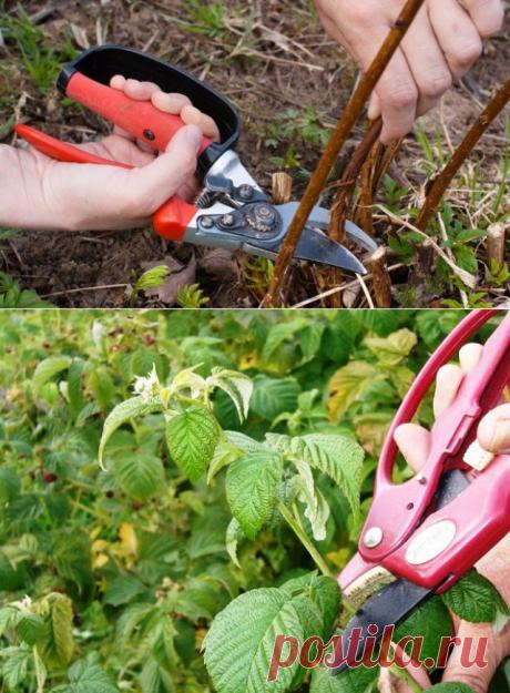 Как правильно обрезать малину весной, летом и осенью - Интересный блог