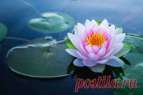 Кувшинка - цветок, в который нельзя не влюбиться. Кувшинки плавают на поверхности воды. но при этом не погружаются. Существует около 50ти разновидностей кувшинок.