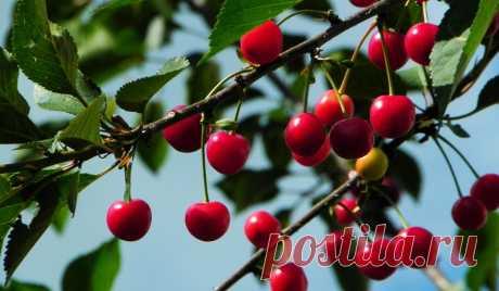 Вишня: посадка, уход, обрезка, сорта Вишня – одна из главных плодовых культур в наших садах. Однако не всем удается получать хорошие урожаи. Давайте разберемся, что нужно этой культуре, какие бывает сорта и как правильно осуществлять посадку, уход и обрезку вишни