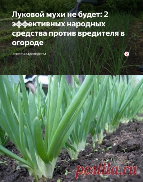 Луковой мухи не будет: 2 эффективных народных средства против вредителя в огороде | Секреты сада. Дача, цветы | Яндекс Дзен