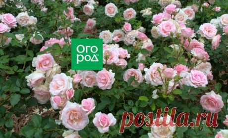 How to grow up roses in a shadow and a penumbra | In a flower bed (Огород.ru)