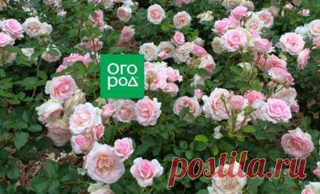 Как выращивать розы в тени и полутени | В цветнике (Огород.ru)