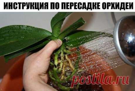 Пошаговая инcтрукция по пересадке фаленопсиса (орхидея) — Садоводка