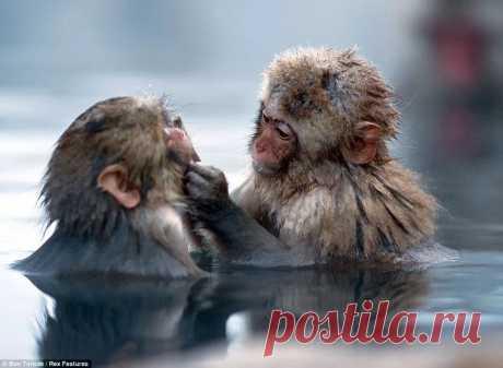 японские обезьяны в теплых источниках фото — Яндекс: нашлось 98млнрезультатов