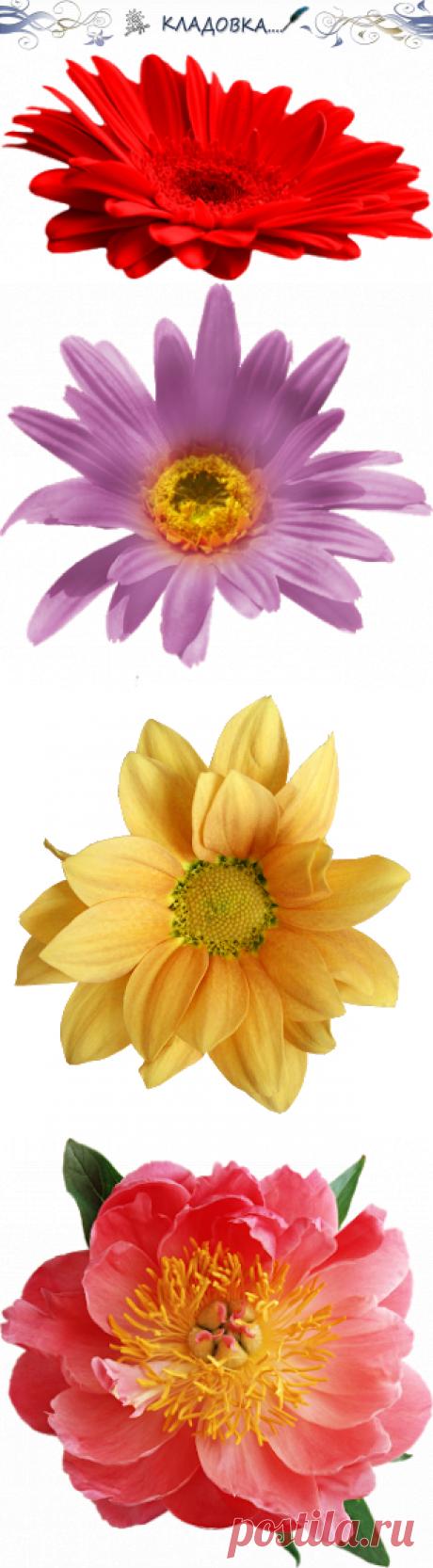 Кладовка...: Цветы - одиночные - на прозрачном фоне