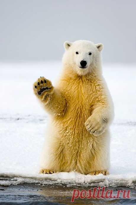 Приветливый  медведь...