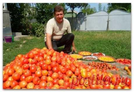 Волшебный бальзам для роста помидоров от садовода-огородника Владимира Андриянина  В бочку насыпаем одну треть крапивы, ведро коровяка, 2 лопаты золы, 2 кг дрожжей, 3 литра сыворотки. Настаивается две недели. Затем нужно поливать под корень - и помидоры растут как на дрожжах.  - Как справляетесь с фитофторой? - Самое главное в борьбе с фитофторой - как можно раньше начать обработку растений. Когда-то я посещал занятия в сельскохозяйственном институте, там один профессор ут...